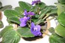 Pestovanie izbových rastlín